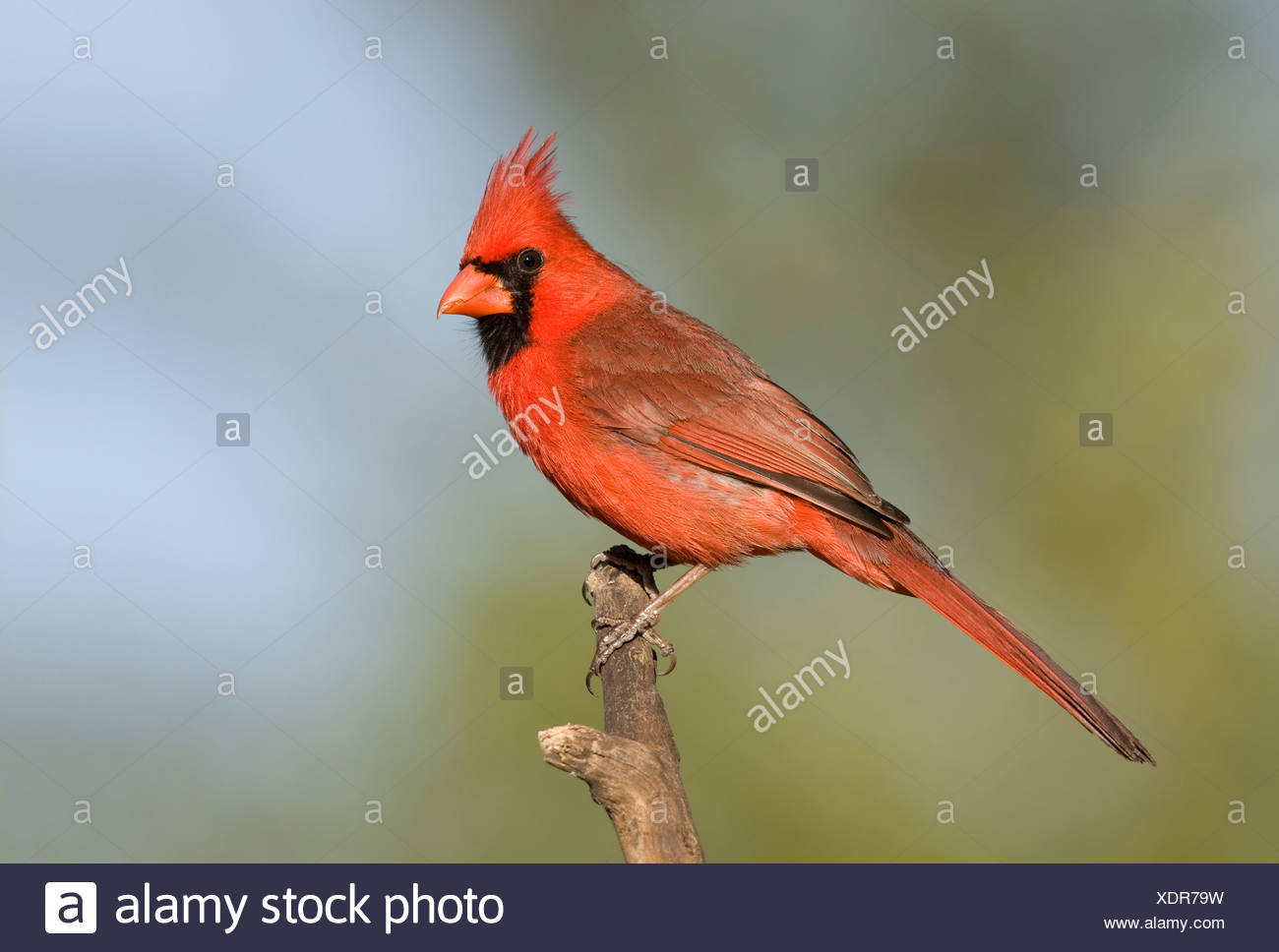 Male Northern cardinal (Cardinalis cardinalis) perching on a branch - Stock Image