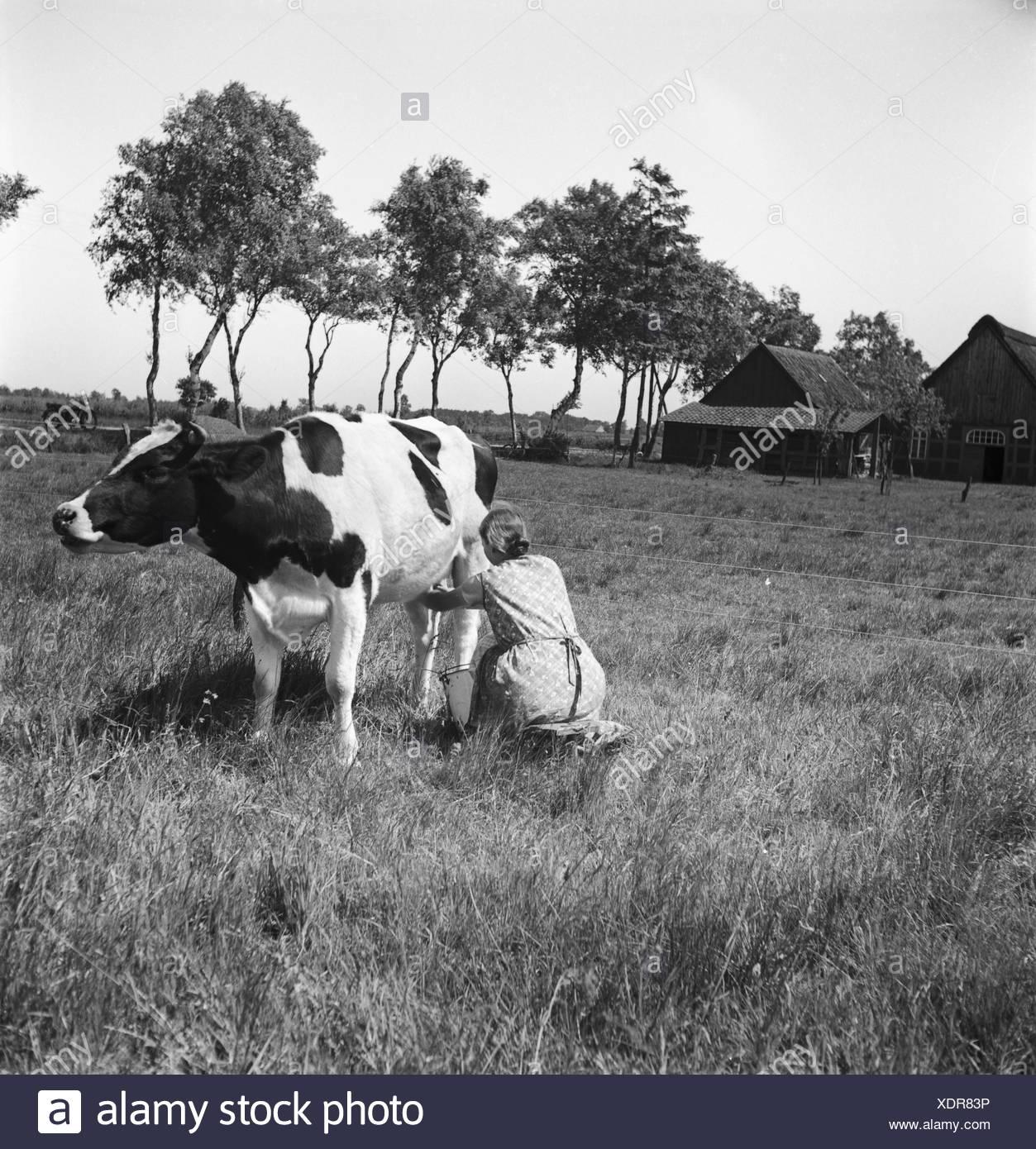 Ein Mdchen beim Melken der Khe im Umland von Bremen, Deutschland 1930er Jahre. A girl milking a cow at the rural surroundings of Bremen, Germany 1930s. Stock Photo