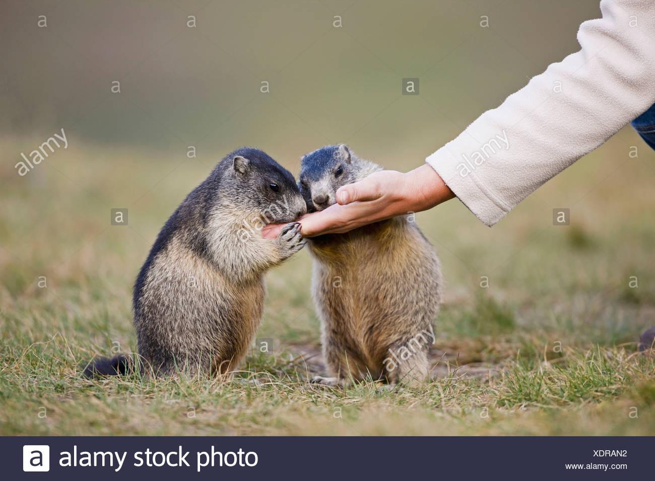 Austria, Person feeding Alpine Marmots (Marmota marmota) - Stock Image