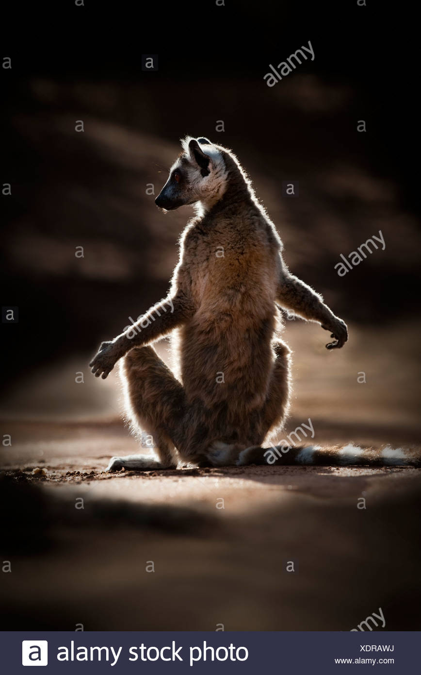 Ring-tailed Lemur basking morning sunshine in spiny forest. Berenty Private Reserve, southern Madagascar. - Stock Image