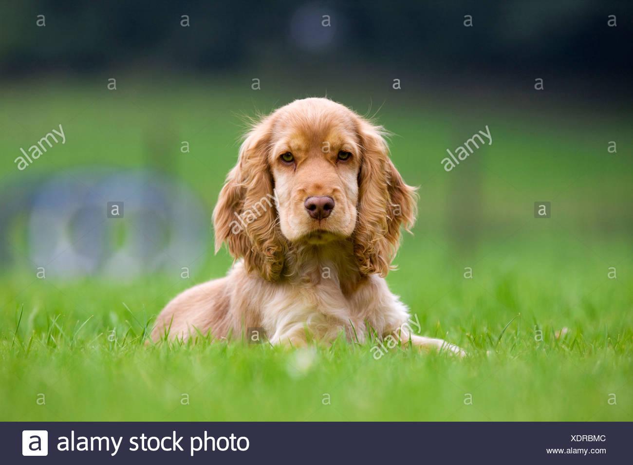 English Cocker Spaniel - Stock Image
