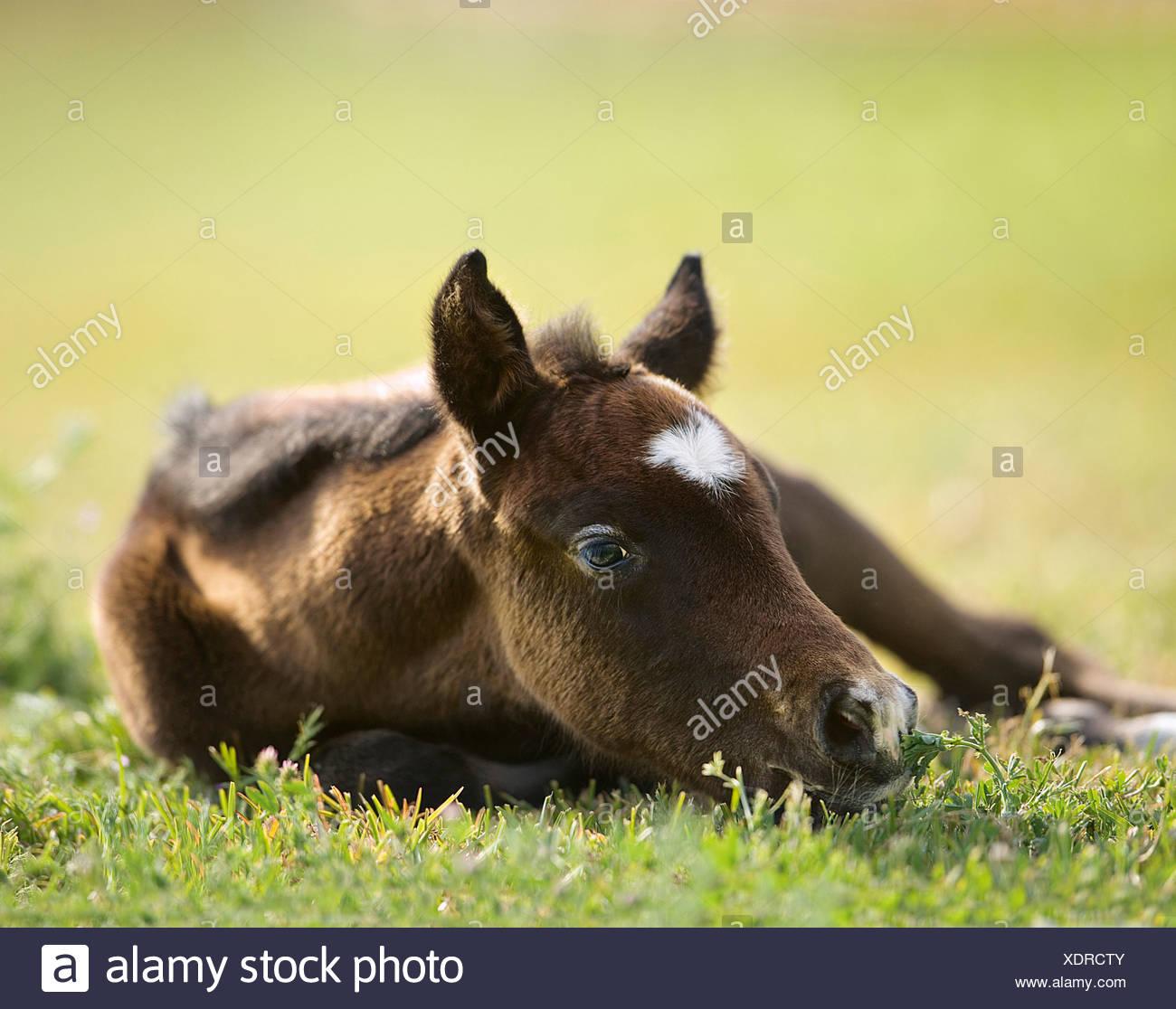 Purebred Arabian Horse Equus ferus caballus Stock Photo