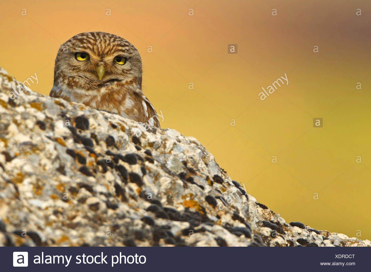 little owl (Athene noctua), peering from behind a rock, Turkey, Sanliurfa - Stock Image