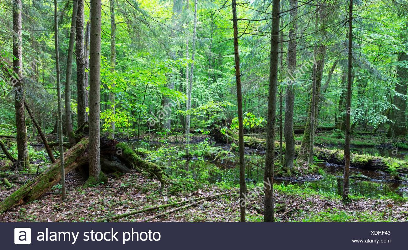 Primeval forest in spring with broken trees and water, Bialowieza Forest, Poland, Europe. - Stock Image