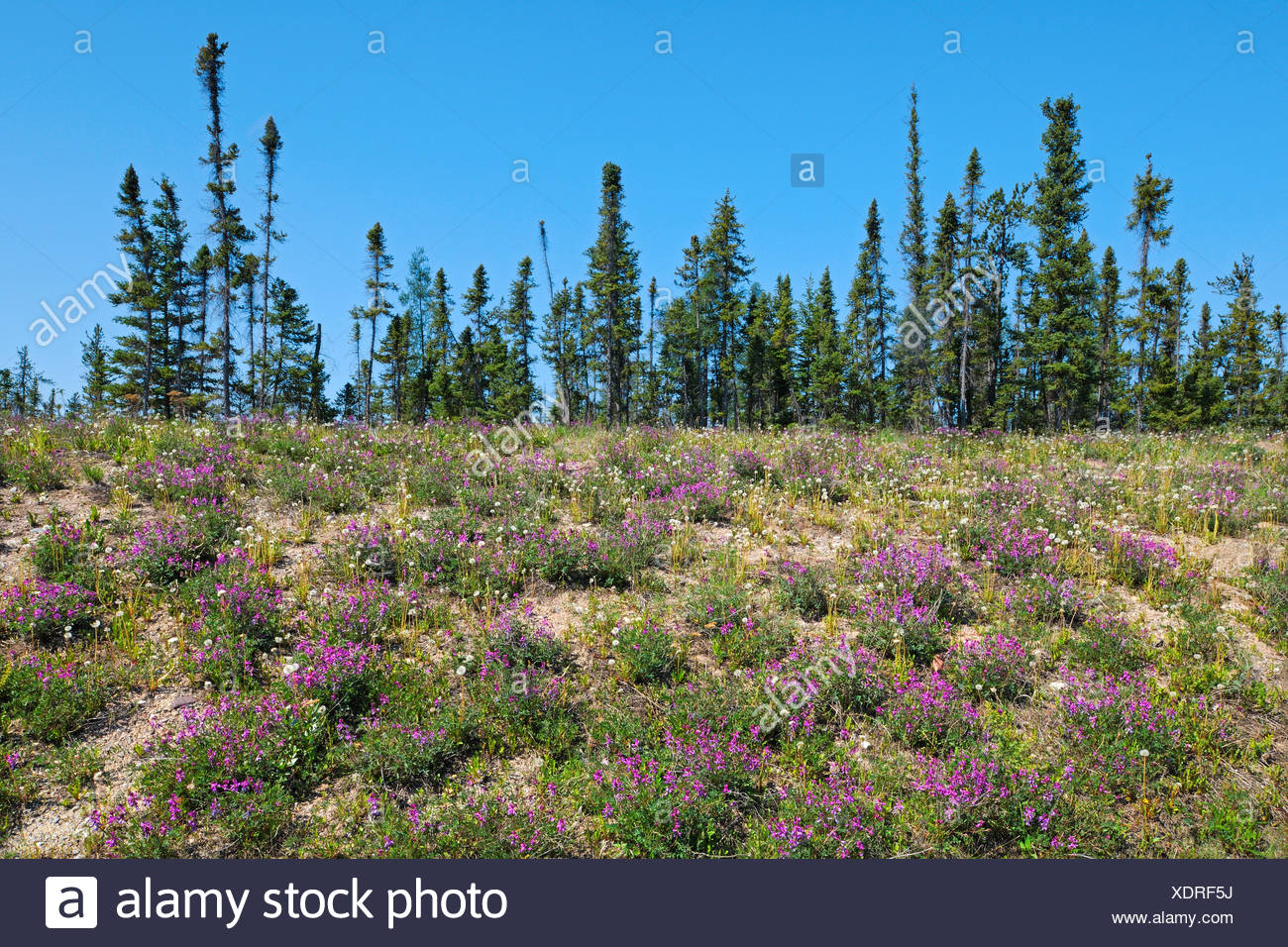Wild Sweet Pea and black spruce trees in boreal forest  Yellowknife Highway near Fort Providence Northwest Territories Canada - Stock Image