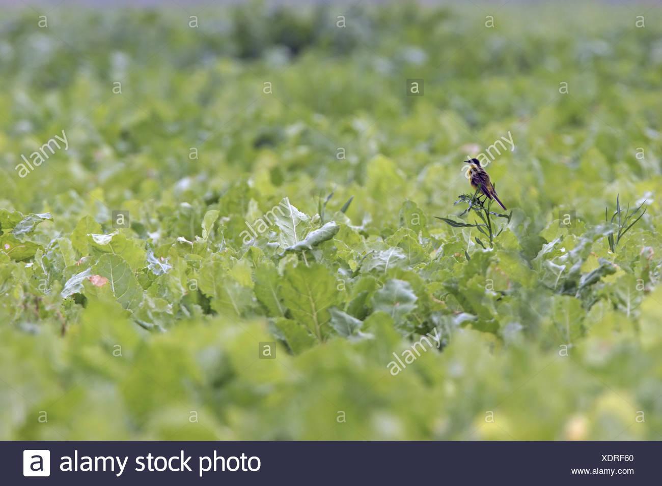 Ashy-headed Wagtail, Yellow wagtail (Motacilla flava cinereocapilla), sitting in vegetable field, Italy, Apulia, Pulia - Stock Image