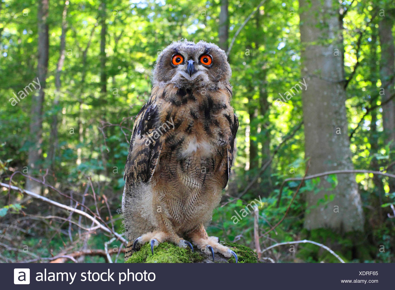 northern eagle owl (Bubo bubo), sits on a mossy stone, Germany - Stock Image