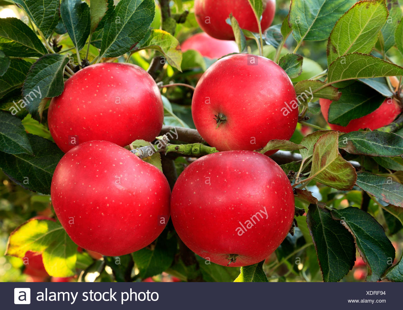 Apple 'Discovery', malus domestica, red apples, named variety varieties growing on tree - Stock Image