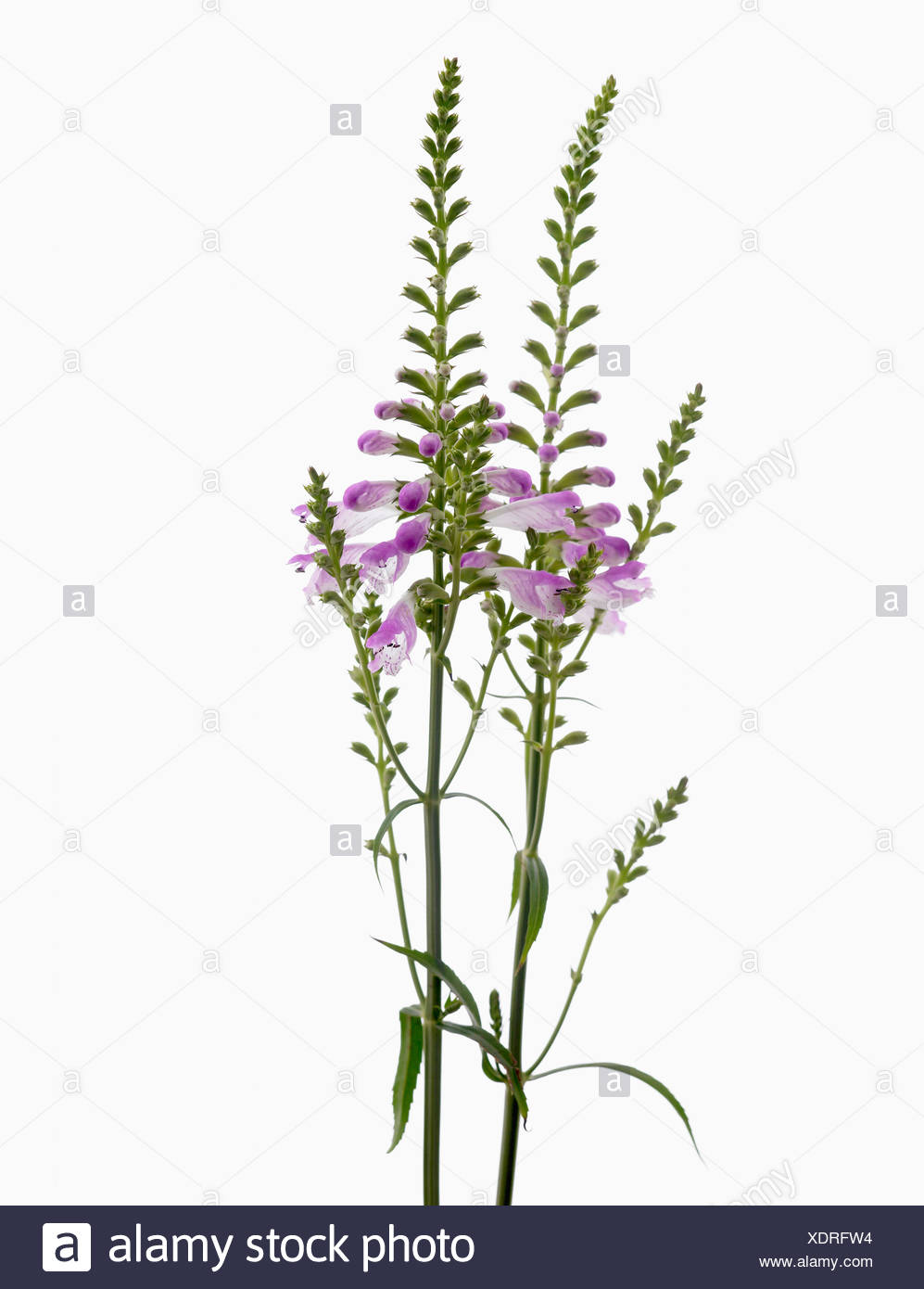 Physostegia virginiana, Obedient plant with purple flowers on upright stems against a white background. - Stock Image