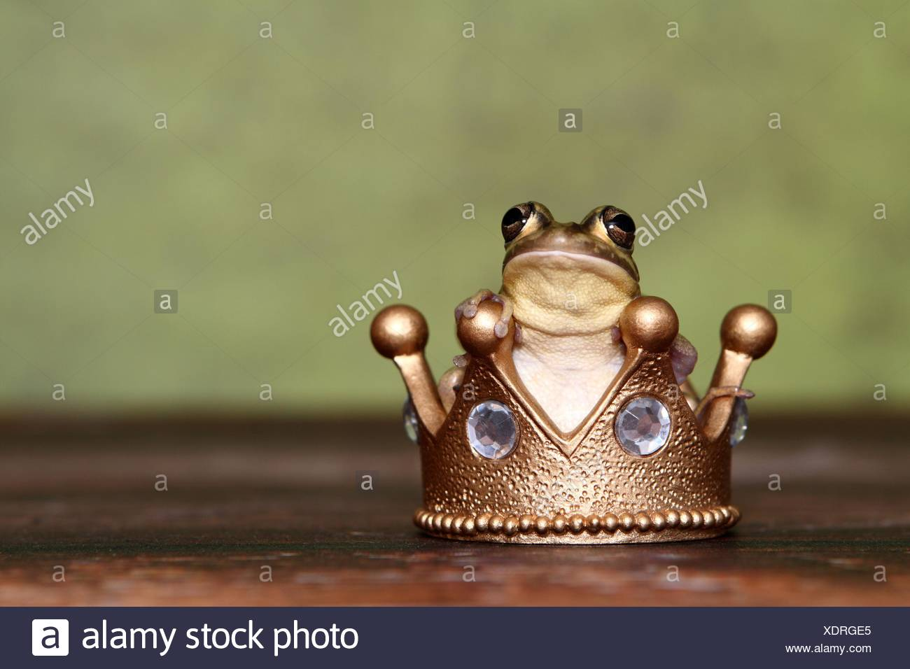green and golden bell frog - Stock Image