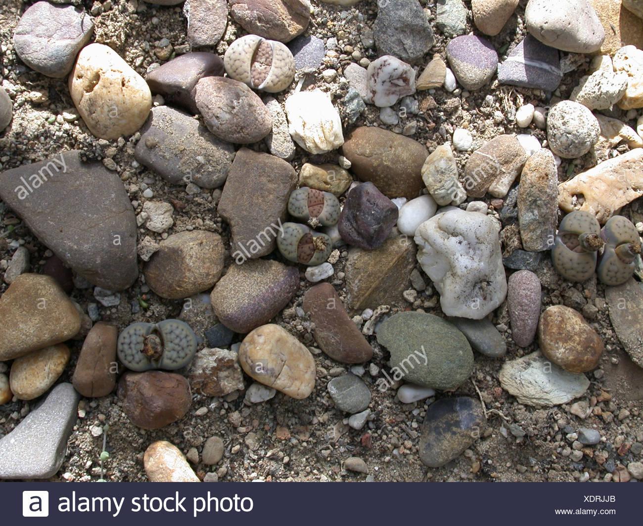 stone plant (Lithops spec.), hideen between stones Stock Photo