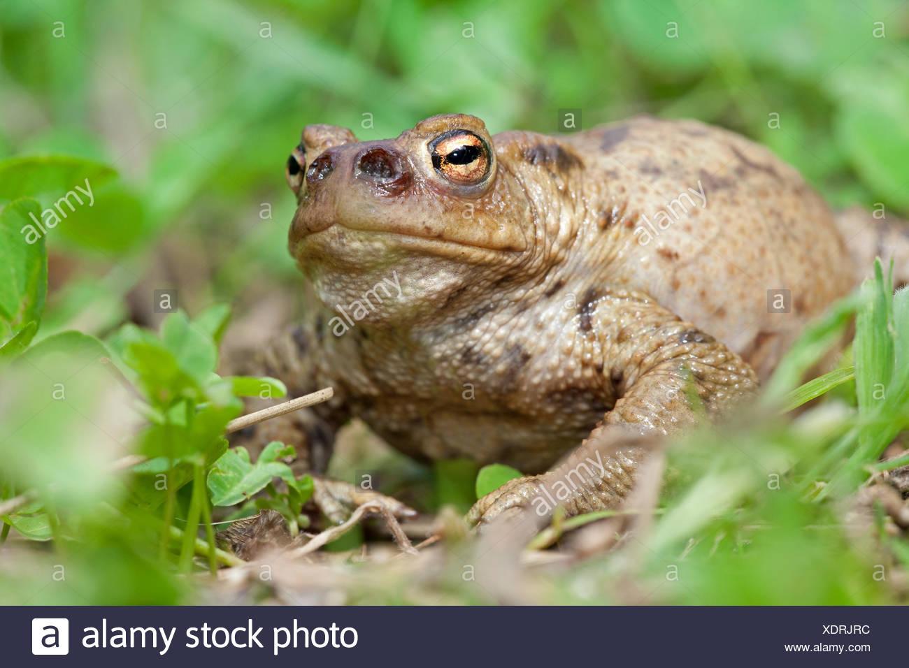 Foto van een gewone pad die geinfecteerd is met de larven van de groene paddenvlieg. Deze vlieg legt haar eitjes in de neusgaten van een pad, de larven (maden) eten dan langzaam de pad op, hier zie je dat de neusgaten al zijn uitgegeten, de pad zal aan een langzame (waarschijnlijk pijnlijke) dood sterven; Photo of a common toad that has been infected by the Lucilia bufonivora fly. This fly places her eggs in the nostril of the toad, the larvae then slowly eat the toad from the inside which finally results in death; Stock Photo