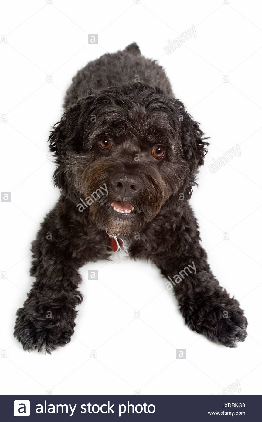 Black Bichon-Cocker Spaniel Dog Stock Photo: 283876659 - Alamy