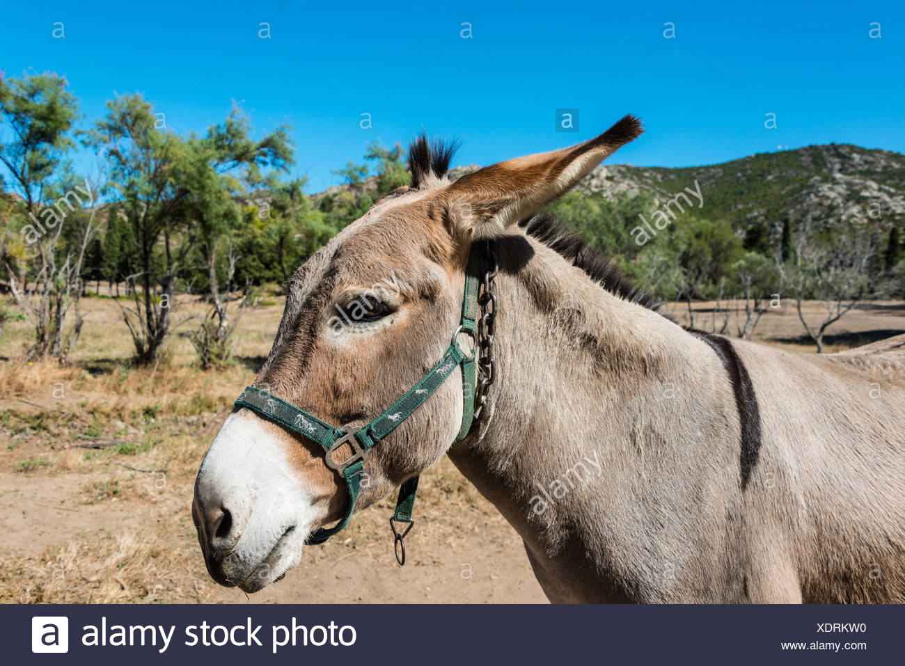 Donkey (Equus africanus asinus), Corsica, France Stock Photo
