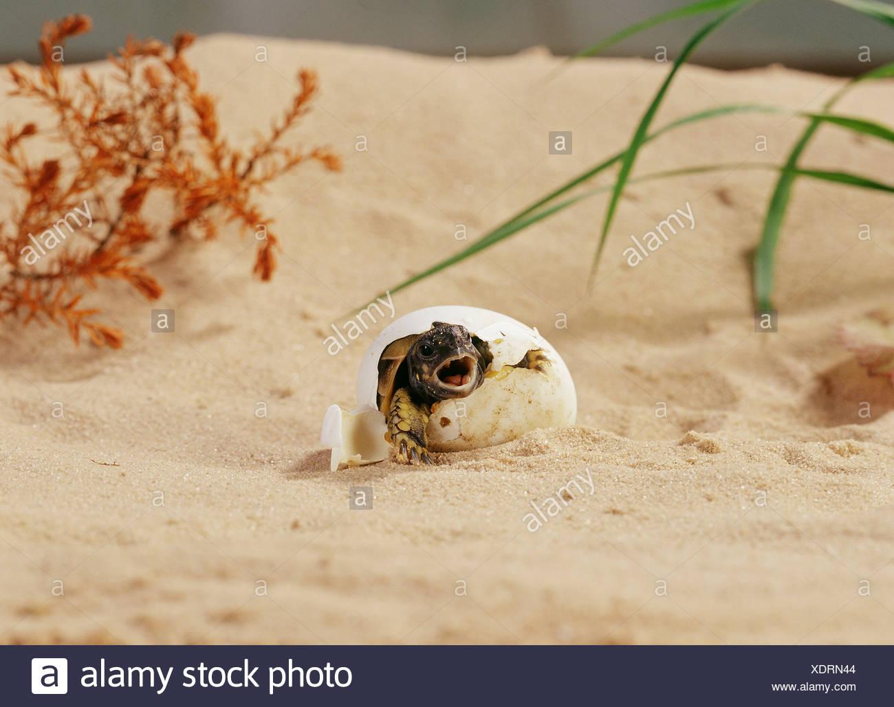 Hermann's Tortoise (Testudo hermanni). Hatchling hatching - Stock Image