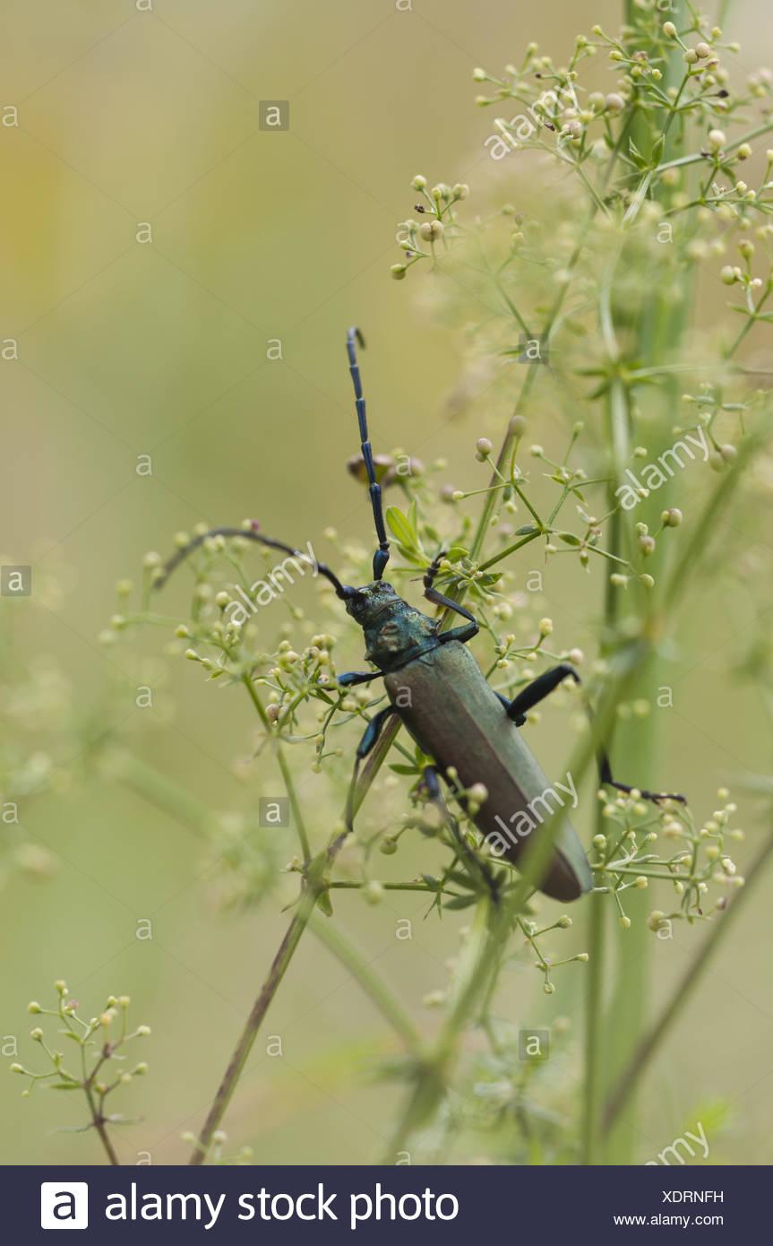 Musk beetle (Aromia moschata), Germany - Stock Image