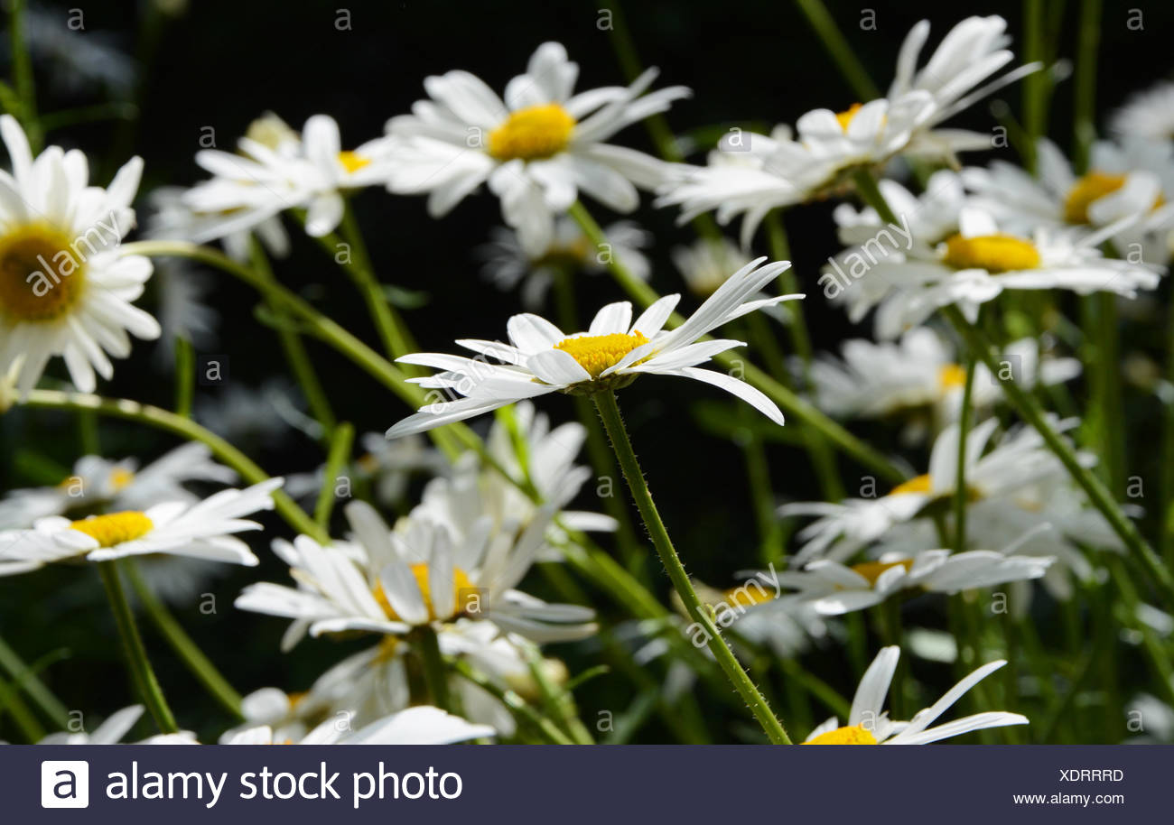 Multiple daisies one daisy flower stock photos multiple daisies multiple daisies with one daisy flower in selective focus stock image izmirmasajfo