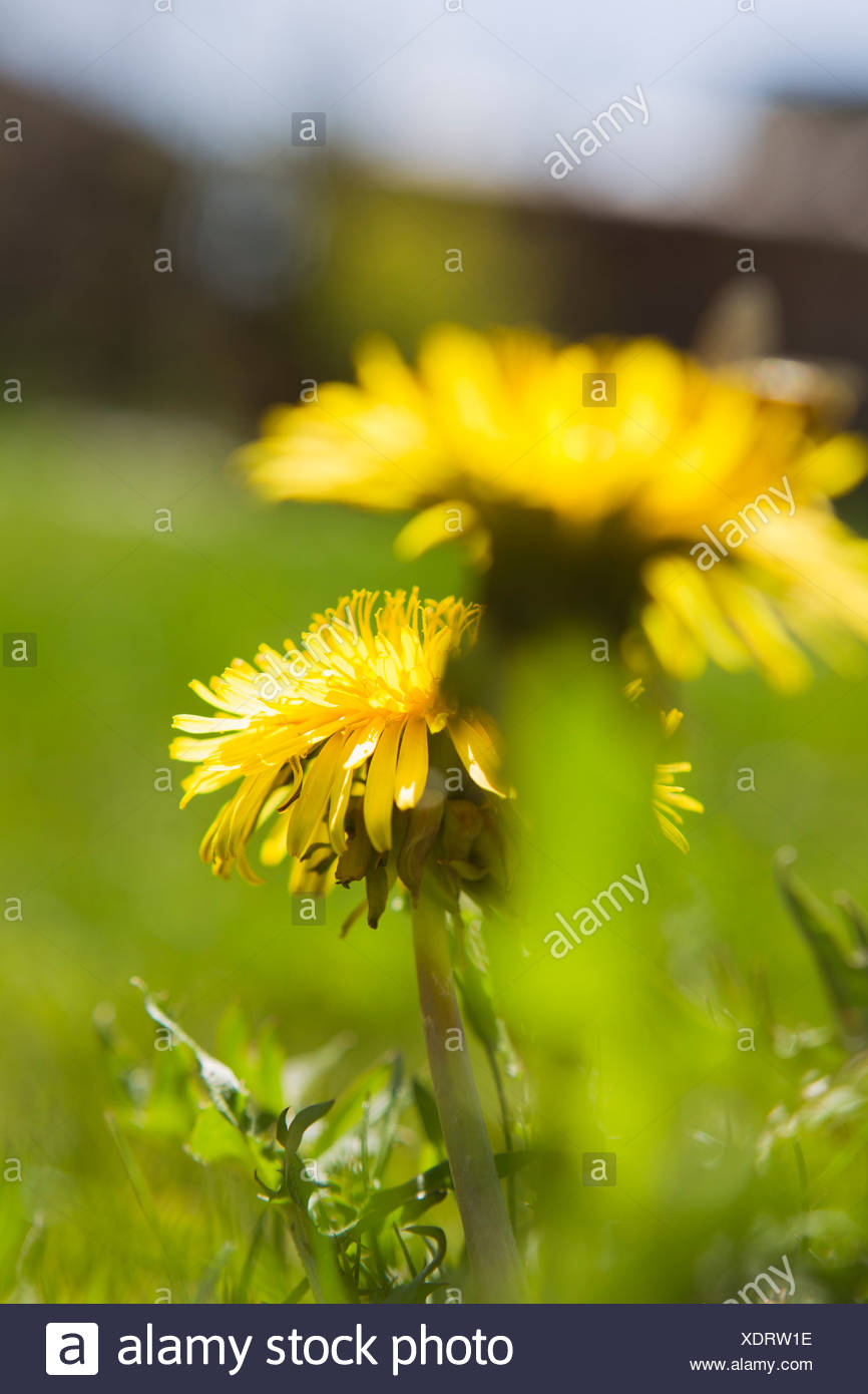 Dandelion Flower On Yellow Color Background Stock Photos & Dandelion ...
