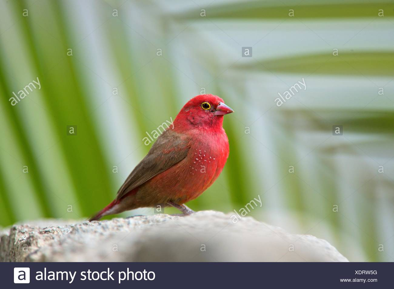 A male red-billed fire-finch perched on a rock in Ethiopia. Stock Photo