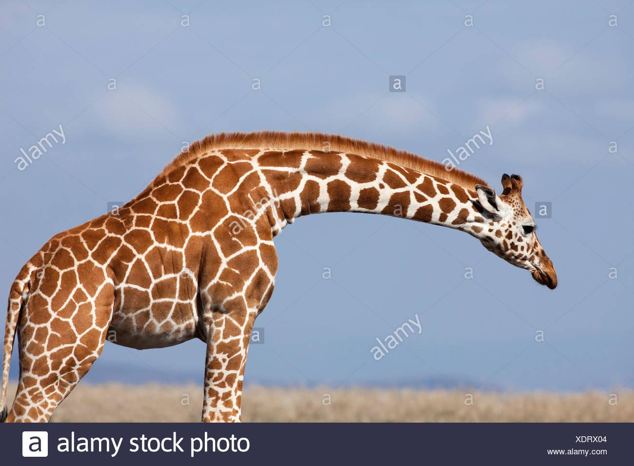 Reticulated Giraffe (Giraffa camelopardalis reticulata) against dramatic sky, Ol Pejeta Conservancy, Rift Valley Province, Kenya Stock Photo