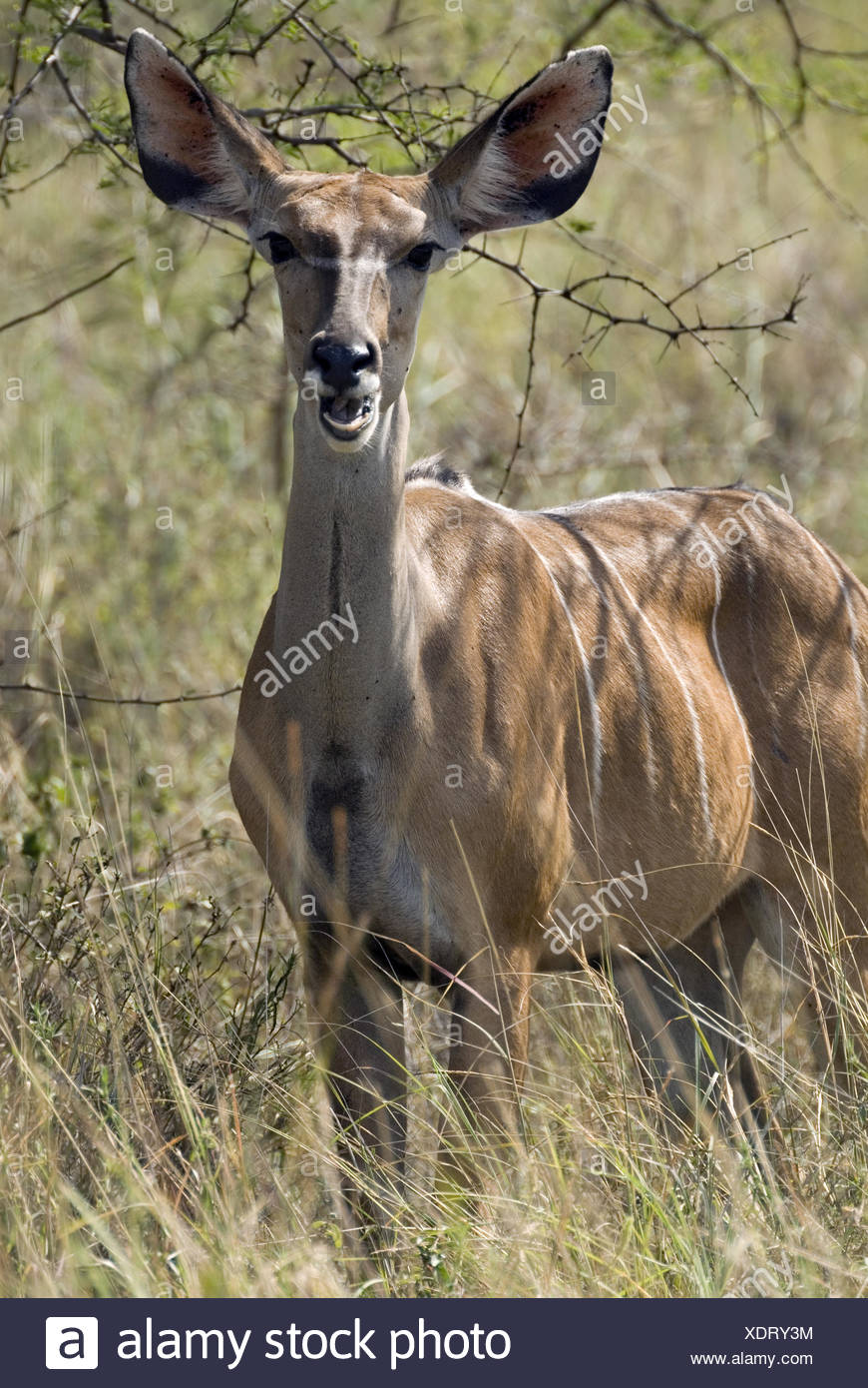 Greater Kudu, Ethiopia Stock Photo