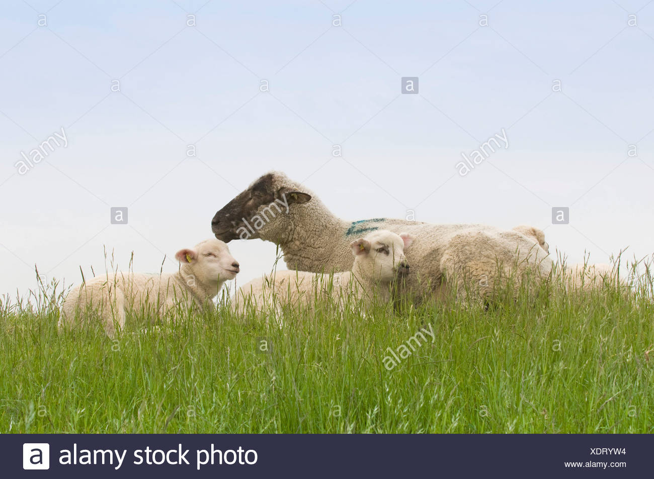 Sheep and two lambs lying on the dyke, Nationalpark Niedersaechsisches Wattenmeer, Lower Saxony Wadden Sea National Park, Lower Stock Photo