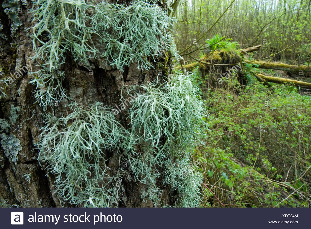 Rendiermos Op Boom Klein Profijt Lichens Growing On A Treetrunk In A Dutch Tidal Forest Stock Photo Alamy