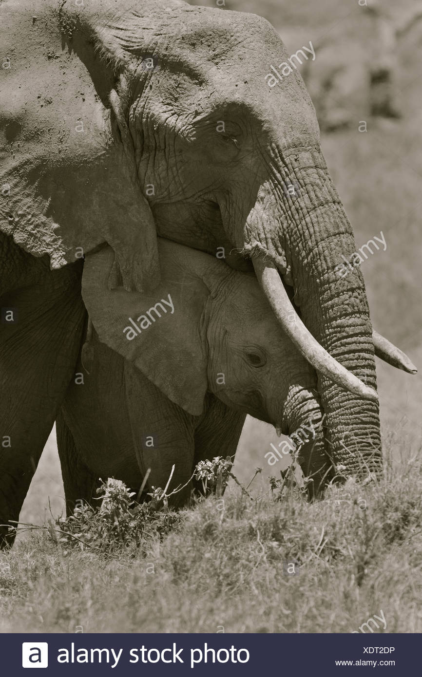 Adult female elephant and baby sheltering beneath, monochrome close up frontal detail, Lewa Downs, Kenya, East Africa - Stock Image