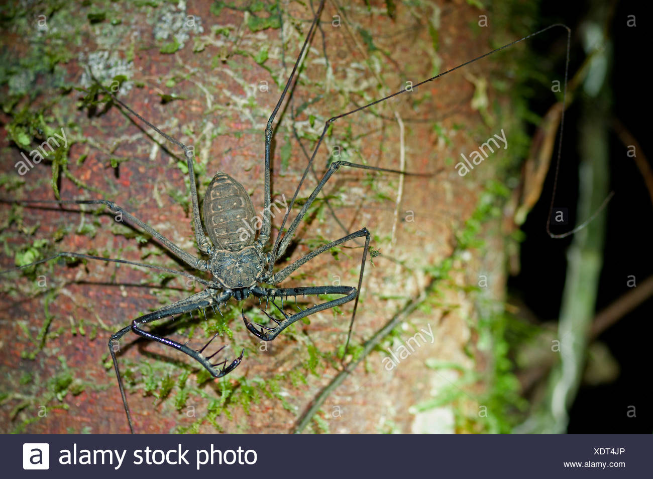 Whip spiders or tailless whip scorpions (Heterophrynus spec.), Tiputini rain forest, Yasuni National Park, Ecuador - Stock Image