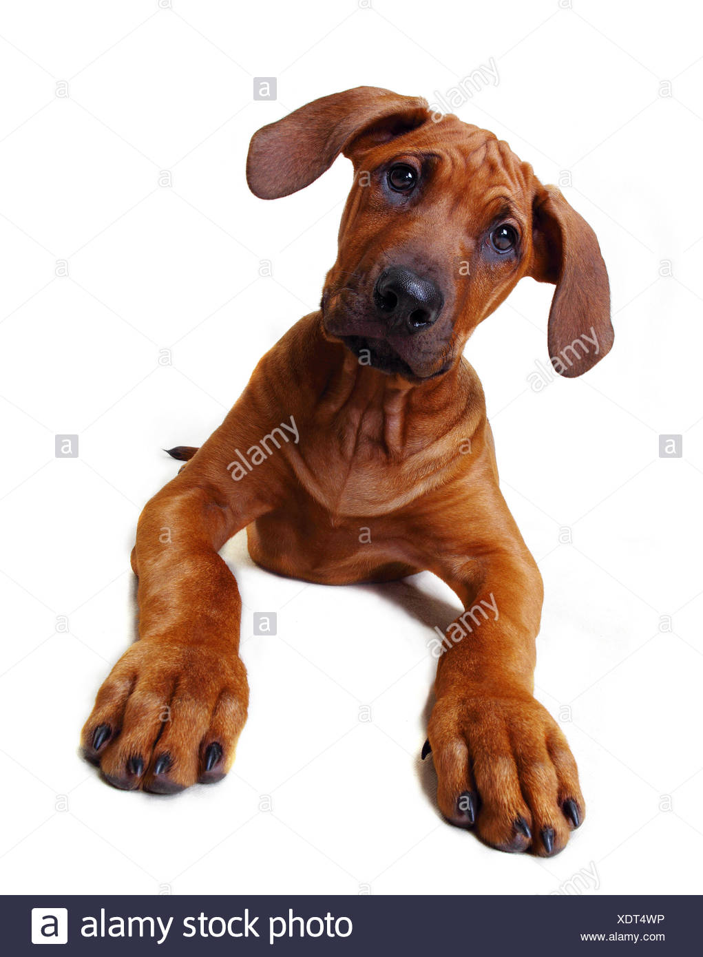 A Rhodesian Ridgeback puppy sitting down Stock Photo