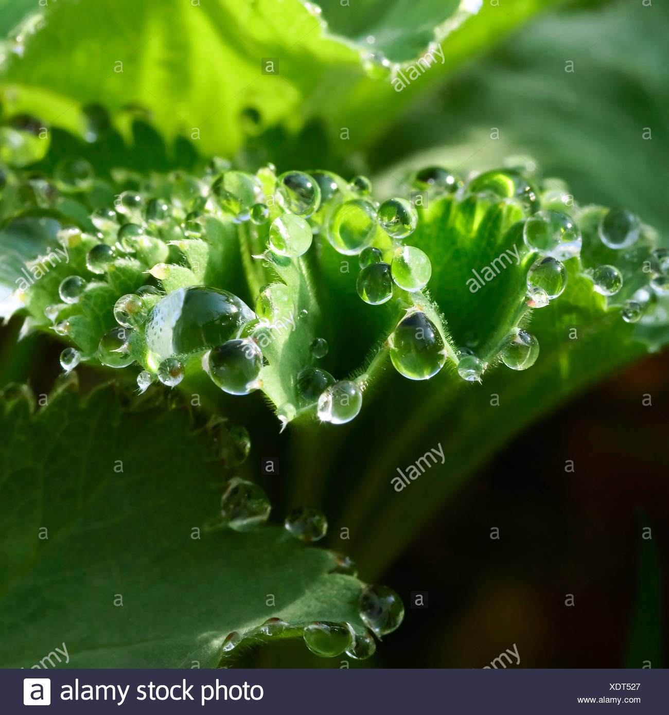 Lady's Mantle (Alchemilla vulgaris) after a rain shower - Stock Image