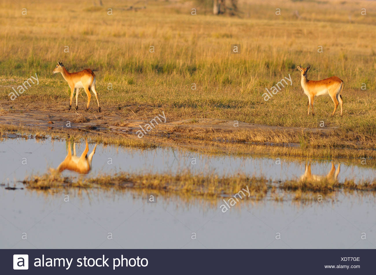 Africa, Botswana, Chobe, National Park, lechwe, antelope, animal, wildlife, wild - Stock Image