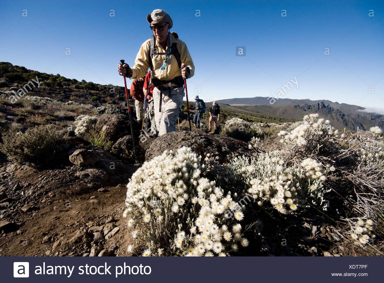 A senior man treks by wild alpine flowers in the high desert below Mt. Kilimanjaro. - Stock Image