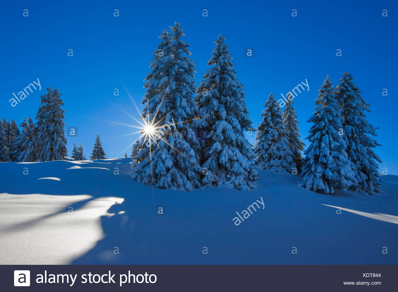 Norway spruce (Picea abies), snow covered spruces at the Flumserberg, Switzerland, St. Gallen - Stock Image
