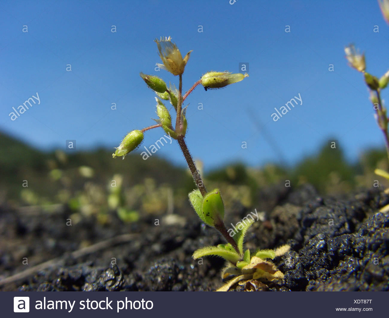 Little mouse-ear, Five-stamen mouse-ear chickweed (Cerastium semidecandrum), single plant growing on a lava field at the southern slope of Mount Etna, Italy, Sicilia - Stock Image