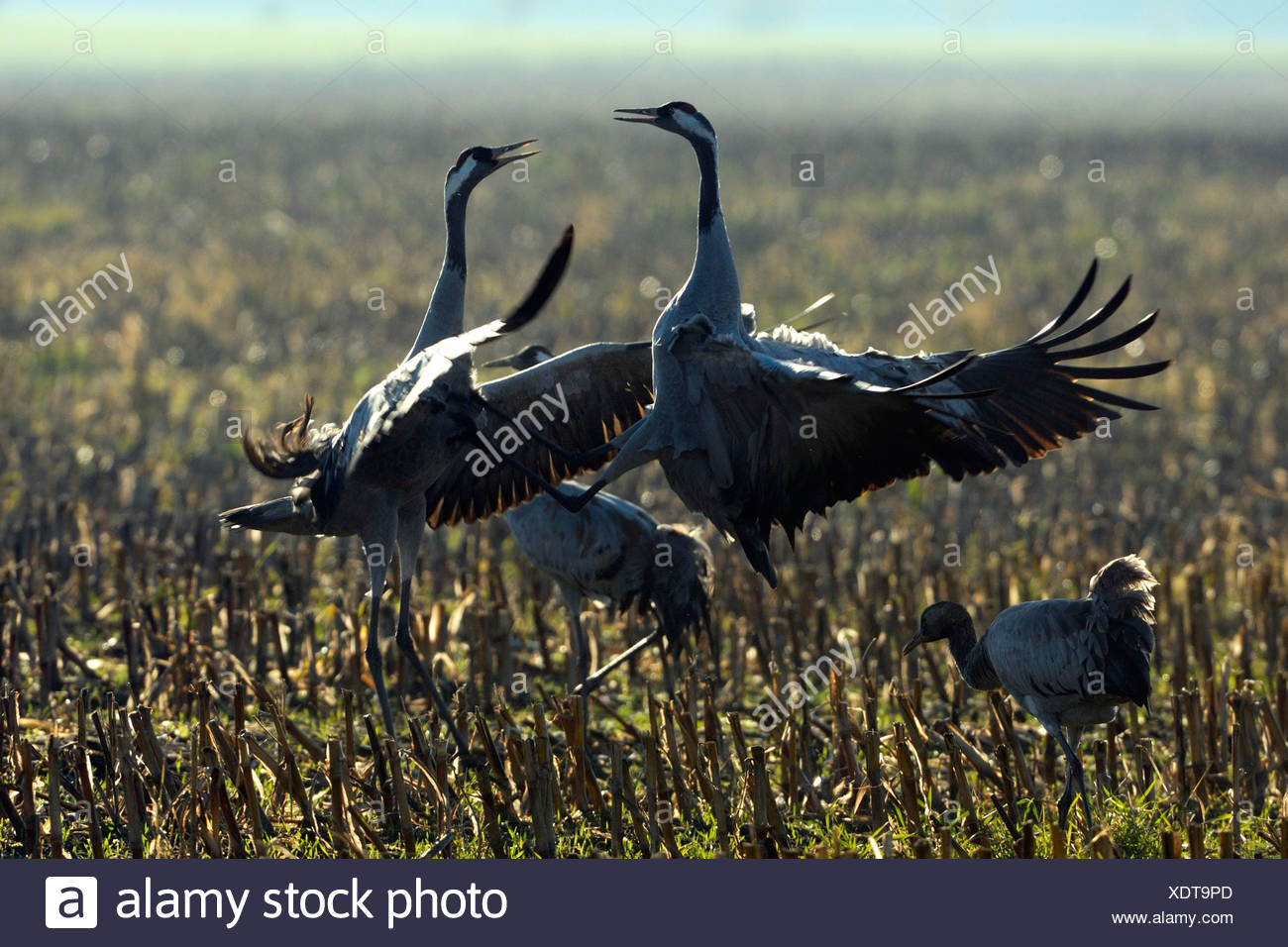 common crane (Grus grus), fighting on a stub field, Germany, Mecklenburg-Western Pomerania - Stock Image