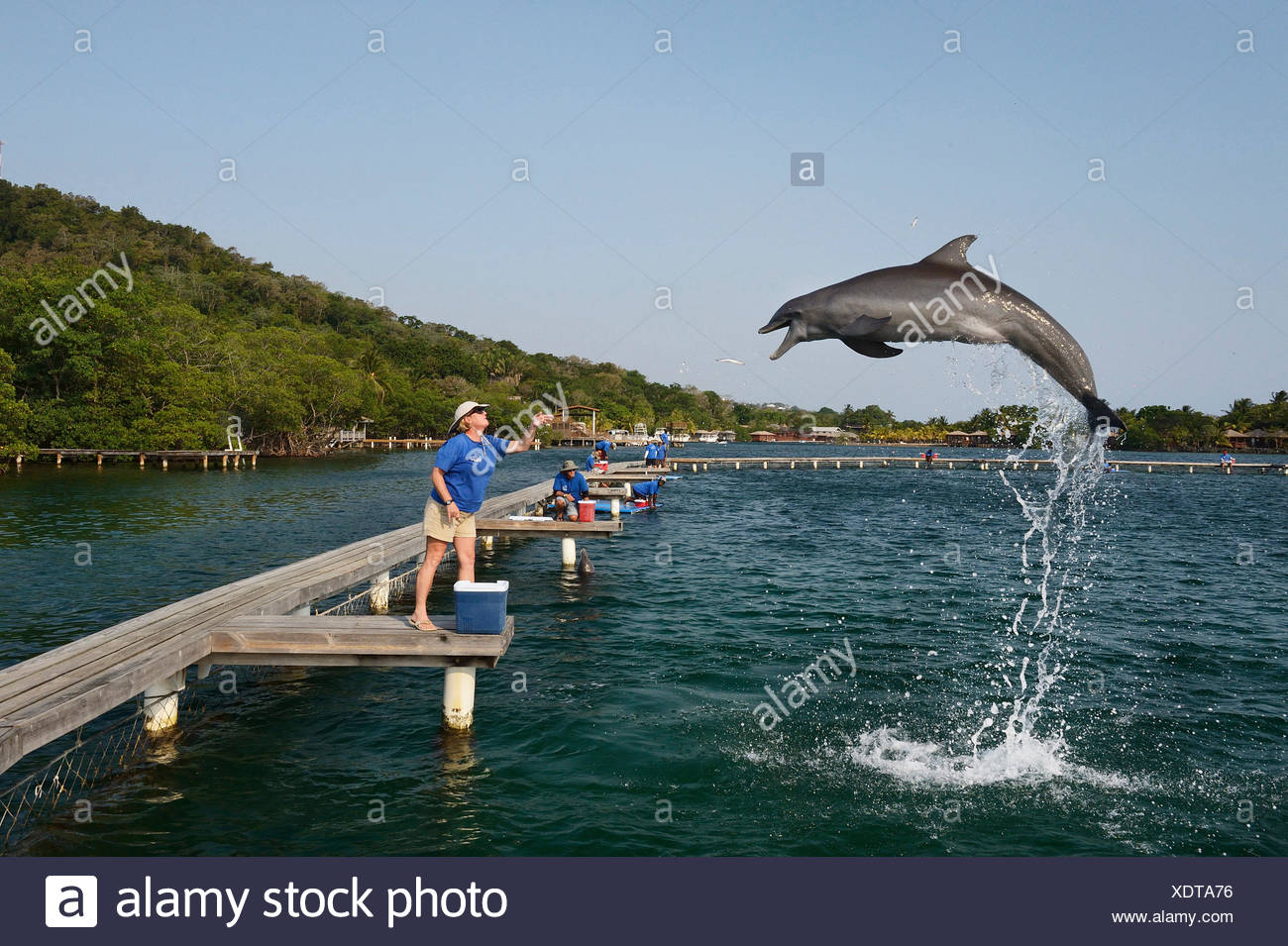 A biologist throws fish to a bottlenose dolphin at the Roatan Institute for Marine Science at Anthony's Key Resort in Honduras. - Stock Image