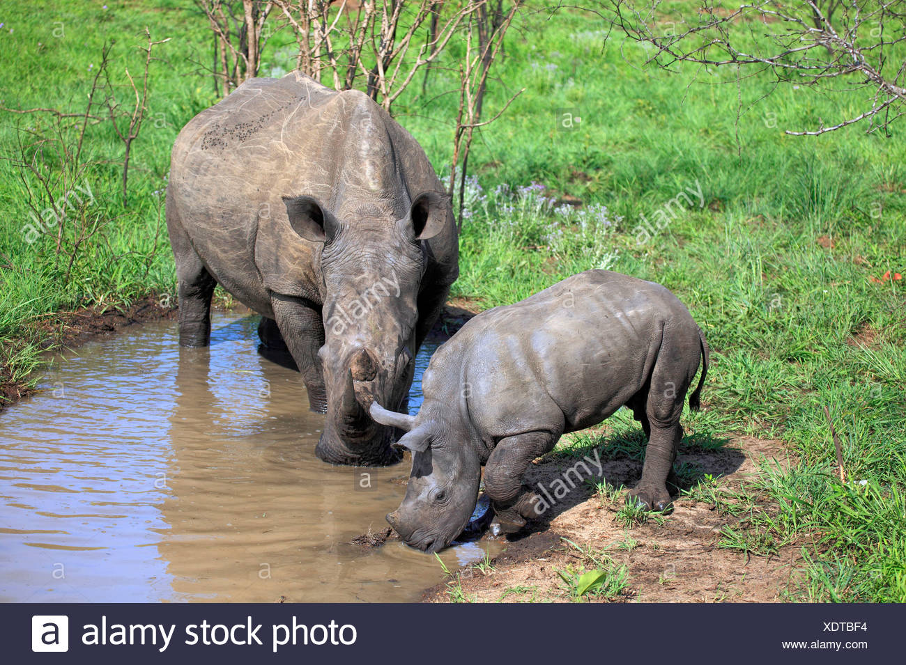 Wide-mouthed Rhinoceros, female with young, Sabi Sabi Game Reserve, Kruger national park, South Africa / (Ceratotherium simum) - Stock Image