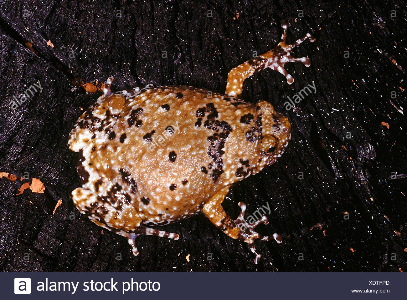 Ramanella Variegata. Variegated Ramanella. This small frog has discs on its finger tips and not on the toes - Stock Image