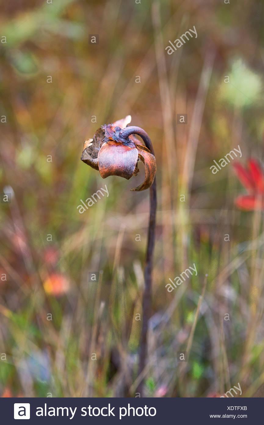 Drided flower stem. - Stock Image