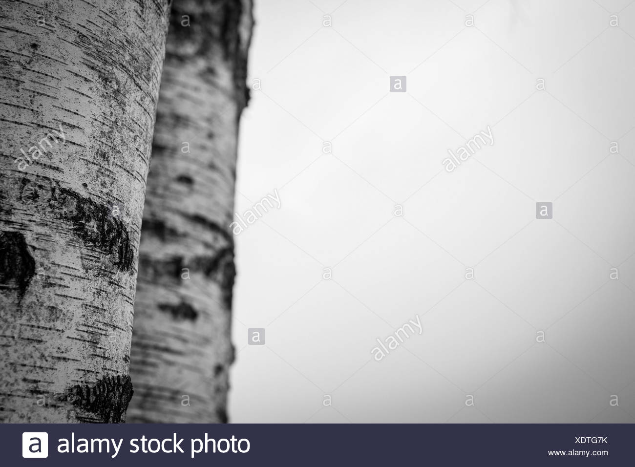 Two birch trunks in black and white, Seefeld, Oberbayern, Bavaria, Germany - Stock Image