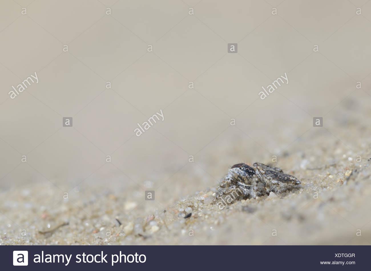 Jumping spider, male (Yllenus arenarius) - Stock Image
