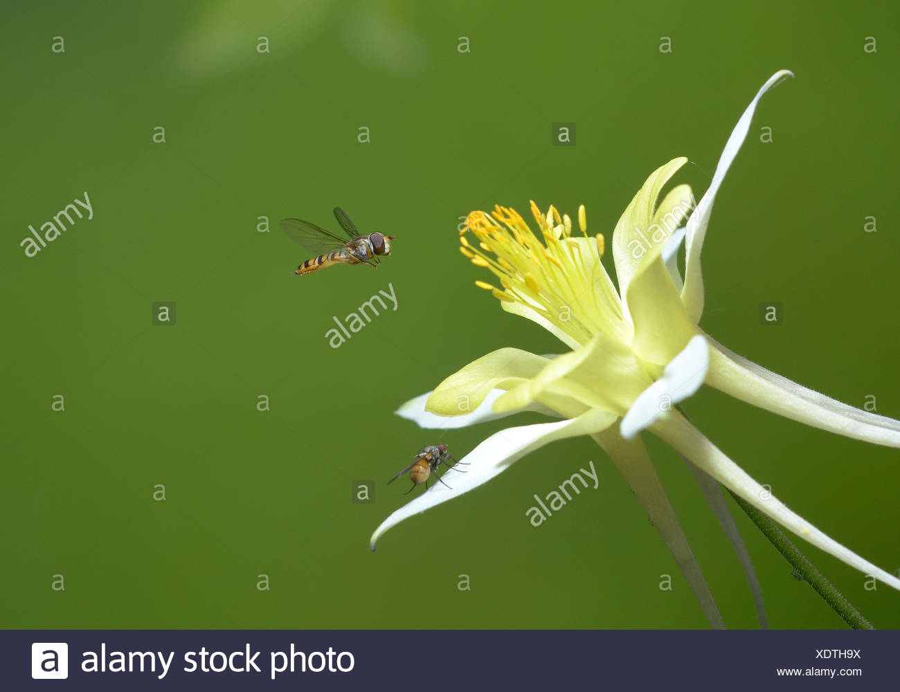 Hoverfly in flight - Stock Image