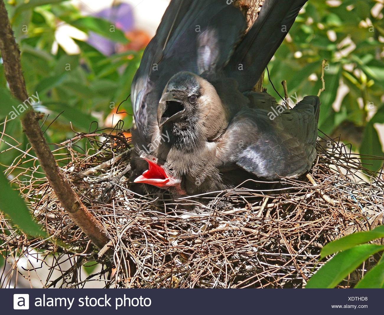 Nest of a house crow, Corvus Splendens with Young ones - Stock Image