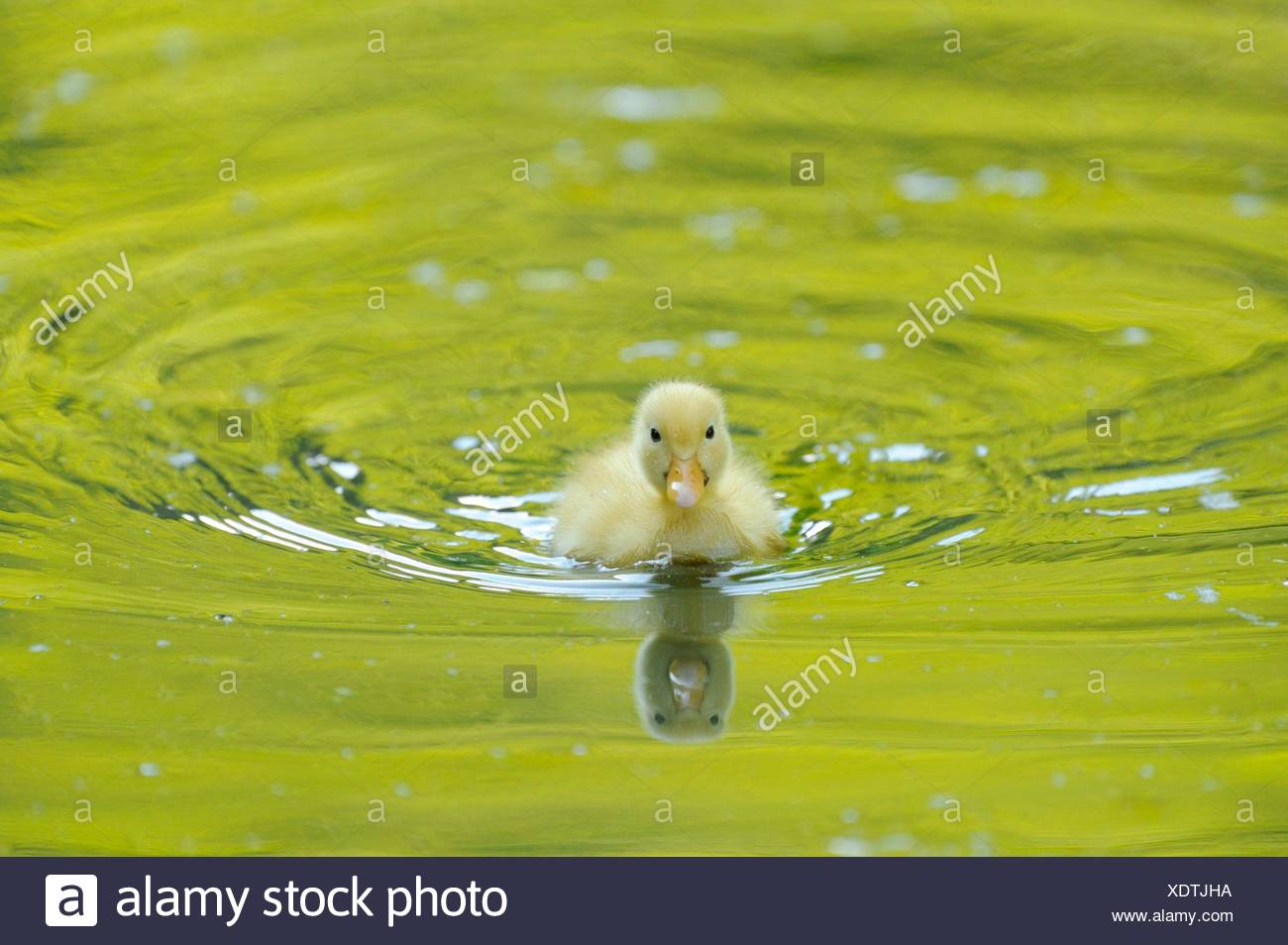 Long Island duck chick in water - Stock Image