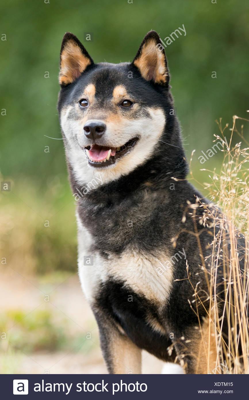 Portrait Of A Black And Tan Shiba Inu Dog Stiphoutse Bossen Netherlands Stock Photo Alamy