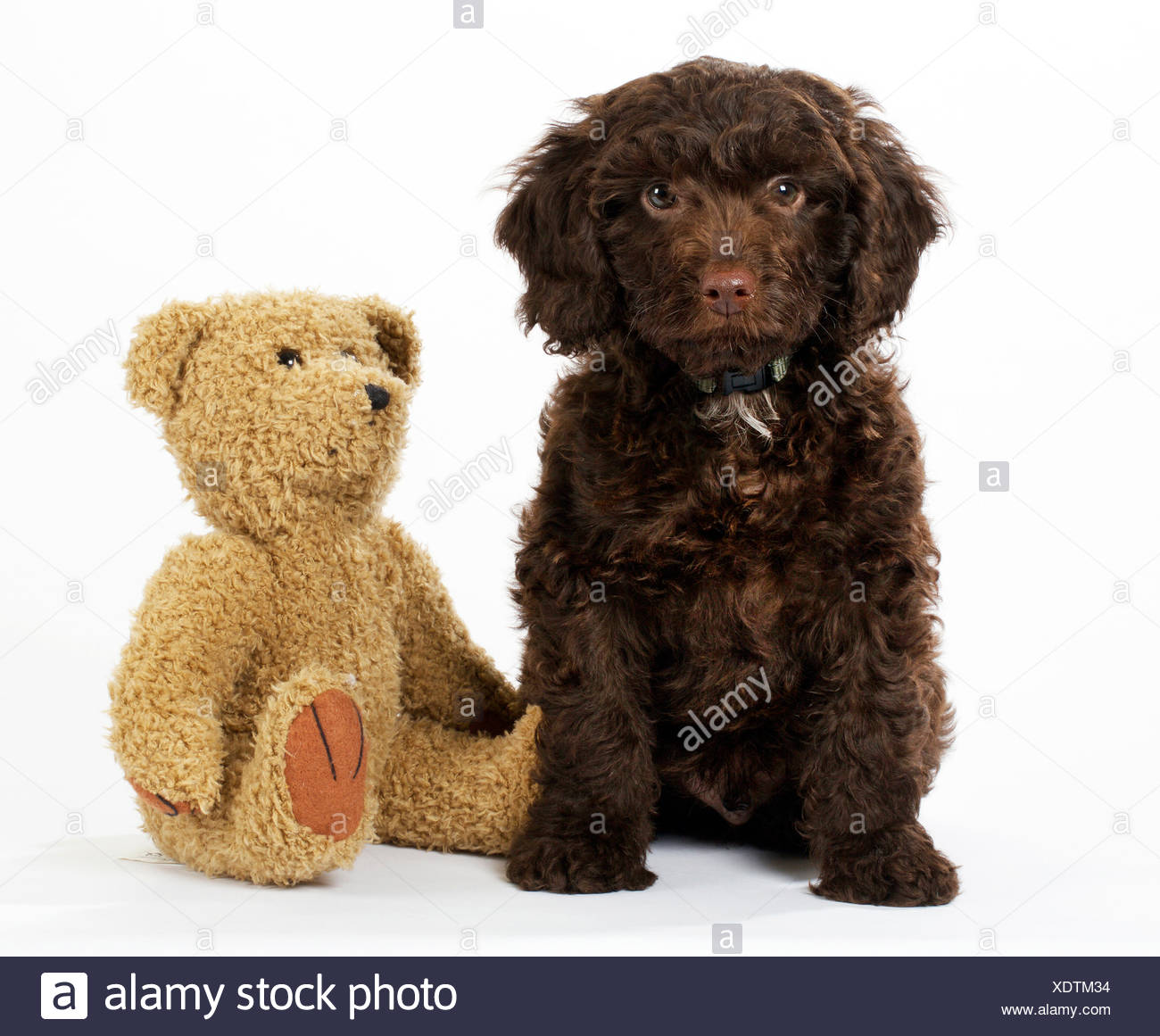 PUPPY DOG SPROODLE - Stock Image