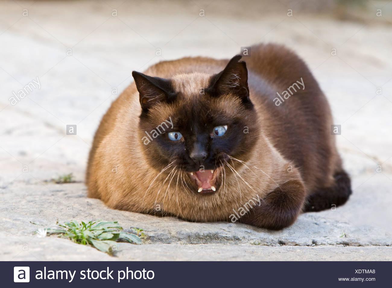 Siamese cat yawning, portrait - Stock Image