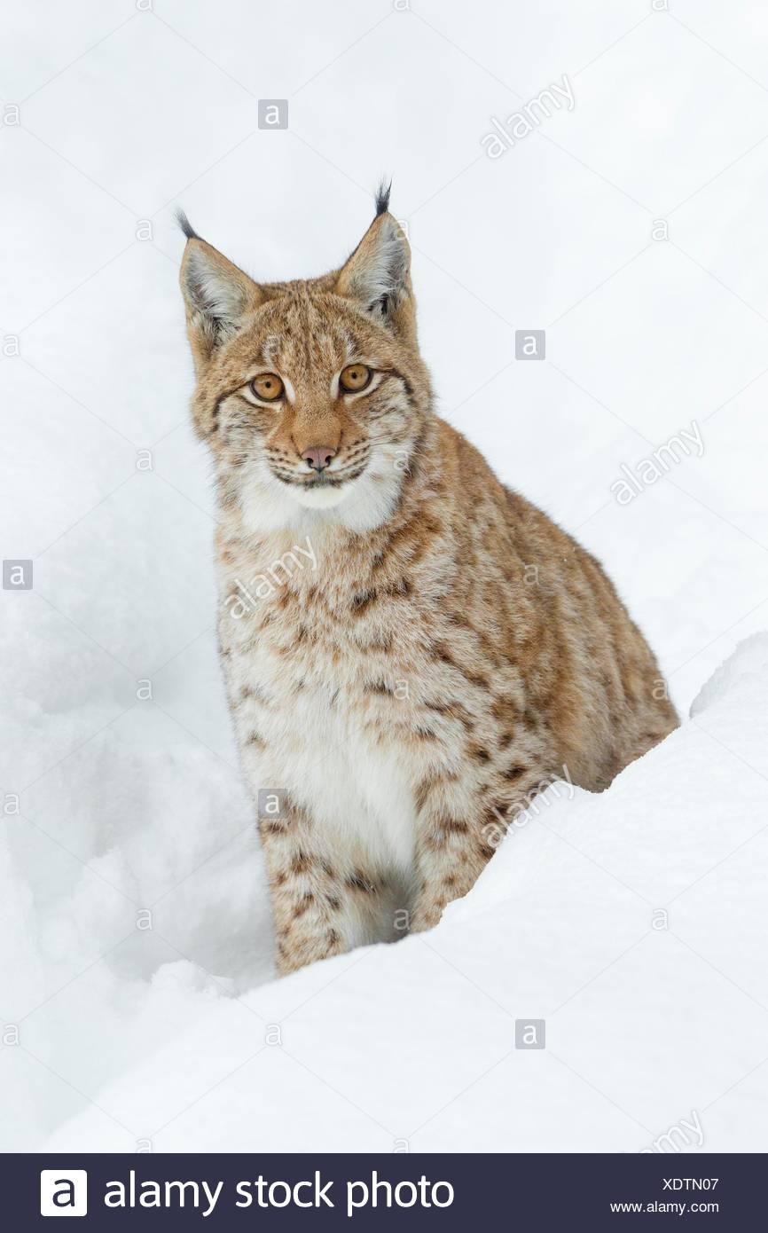 Eurasian Lynx (Lynx lynx) in deep snow, Bavaria, Germany. Stock Photo