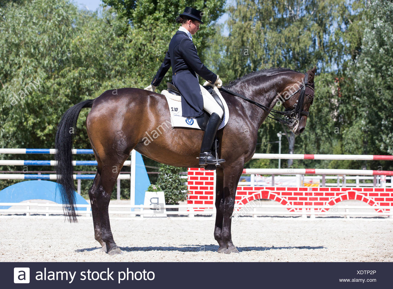 Oldenburg Horse. Rider in a competition saluting. Germany - Stock Image